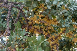 Locust tree, Ceratonia siliqua or carob tree flowers and leaves background, closeup view