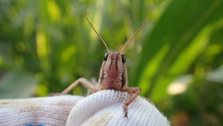 Locusts are related to grasshoppers