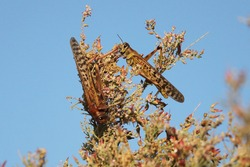 Locusts feeding on desert plants