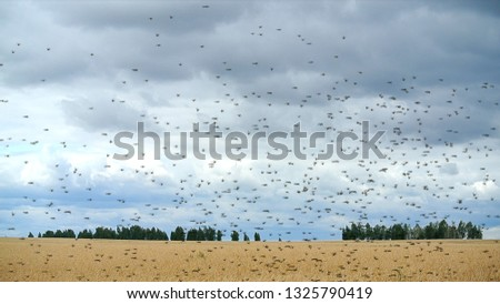 Locusts swarm get down on a wheat field