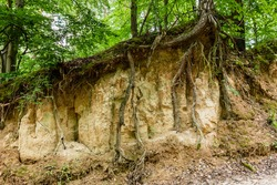 Loess rock slope wall in natural landscape. Trees roots visible (bare) on surface. Soil erosion. Szczebrzeszyn Landscape Park, Poland, Europe.