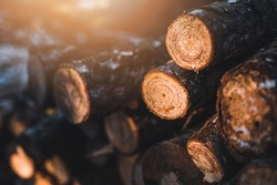 Log trunks pine pile, the logging timber forest wood industry. Banner of wood trunks timber harvesting in forest. Pine log closeup by sunset.
