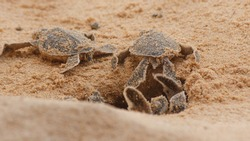 Loggerhead baby sea turtles hatching in a turtle farm in Hikkaduwa. Sri Lanka. Selective Foucs