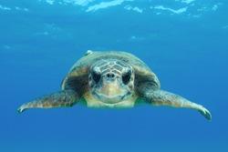 Loggerhead sea turtle (Caretta caretta), adult female