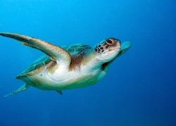 Loggerhead sea turtle, Caretta caretta, in Tenerife, Spain.