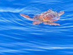 Loggerhead sea turtle comes to the surface near Madeira island with copy text space. Top right corner.