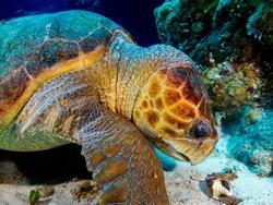 Loggerhead Sea Turtle eating a Conch Shell