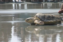 Loggerhead sea turtle release on Isle of Palms. The turtle was rehabilitated at the South Carolina Aquarium and released back into the ocean during the spring to a rousing send off by a crowd.