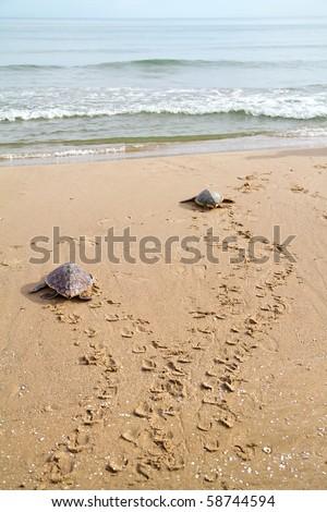 Loggerhead Sea Turtles (Caretta caretta)