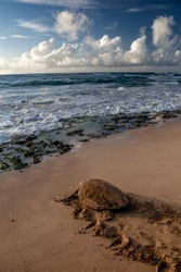 Loggerhead turtle after nesting in Boa Vista, Cape Verde, heads out to sea.