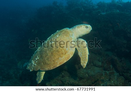 Loggerhead Turtle-Caretta caretta swimming over a reef in south east Florida.