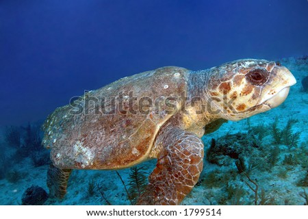 Loggerhead Turtle over coral reef