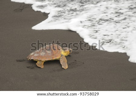 Loggerhead turtles (Caretta caretta), reaching the sea