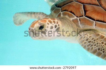 Loggerhead water turtle swimming - over turquoise background. Close-up