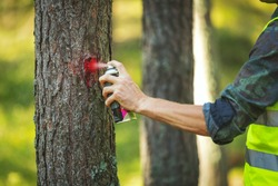 logging industry - forestry engineer marking tree trunk with red spray for cutting in deforestation process