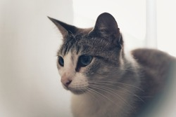 Loki, the adorable  domestic cat.