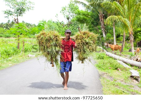 LOMBOK, INDONESIA - FEBRUARY 2 - Indonesian farmer carrying grass on February 2,2012 , Lombok.Today, population started moving away from the farm and toward the city