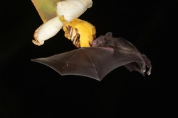 Lonchophylla robusta, Orange nectar bat The bat is hovering and drinking the nectar from the beautiful flower in the rain forest, night picture, Costa Rica