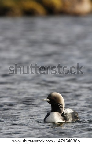 Lone adult Pacific Loon or Pacific Diver (Gavia pacifica) in breeding plumage swimming in arctic waters, near Arviat Nunavut, Canada #1479540386
