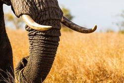 Lone African elephant bull walks through the dry savannah