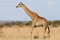 Lone African Giraffe in Kruger National Park