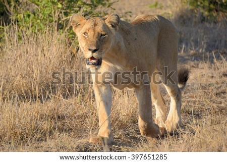 Lone African Lioness strolling through the bush  #397651285