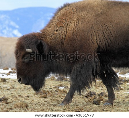 Lone American Buffalo on a hilltop in the Rocky Mountains in Colorado