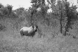 Lone Black Rhino in the Bushland in Southern Africa