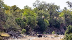 lone buffalo in a riverbed