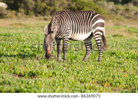 Lone Cape Mountain Zebra standing with head down after eating