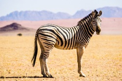 Lone common zebra or plains zebra standing in the desert beneath colourful mountains, Namibia.