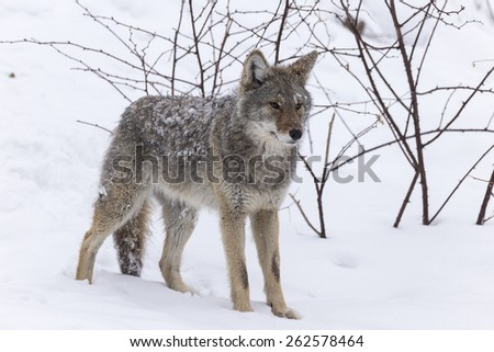 Lone Coyote in a winter scene