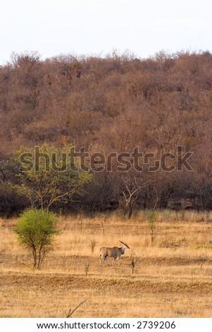 Lone Eland walking in nature.