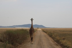 Lone giraffe on the Serengeti road