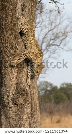Lone leopard climbing fast down a tree trunk in nature during daytime #1211361394