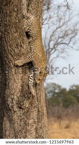 Lone leopard climbing fast down a tree trunk in nature during daytime #1215697963