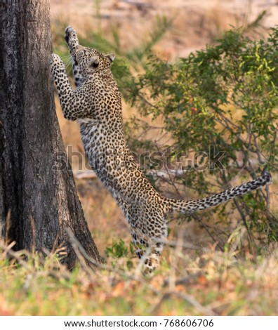 Lone leopard climbing fast up a high tree trunk in nature during daytime #768606706