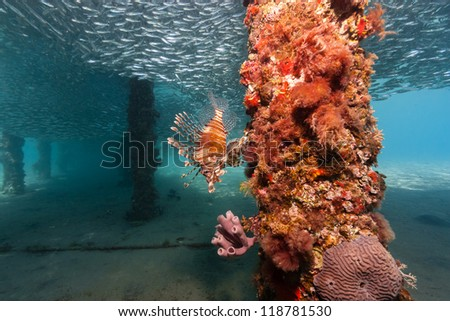 Lone lionfish hunting silverside bait fish underneath a manmade jetty in the Red Sea