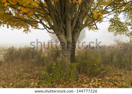 Lone maple tree in early morning fog during fall foliage season in Stowe Vermont, USA