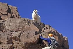 Lone mountain climber and Mountain Goat on Pyramid Peak, Colorado