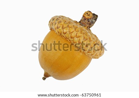 Lone Oak acorn separated on a white background. Separated on a white background.