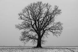 Lone oak tree in the snow