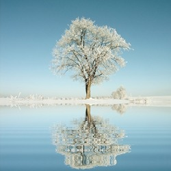 Lone oak tree in the winter scenery with the frost on the branches in the light of the morning sun.
