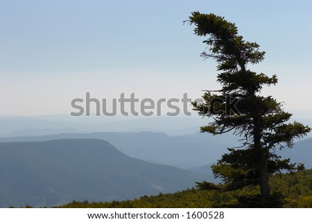 Lone pine. Dolly Sods, Monongahela National Forest, West Virginia, USA