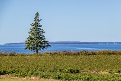 lone pine tree and the ocean view from Hannah's Bottle Village, PEI, Canada