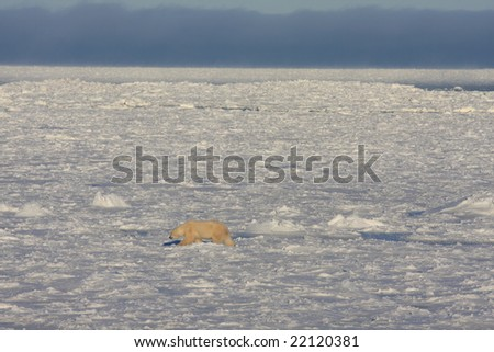 Lone polar bear on the winter ice pack searching for food