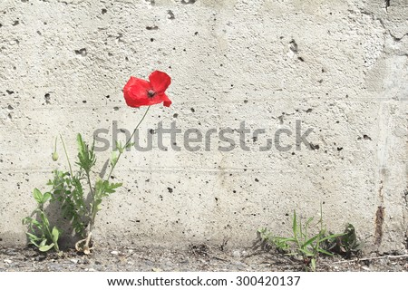 Lone poppy flower grew between the asphalt and concrete wall