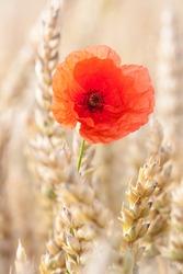 lone poppy flower in wheat field
