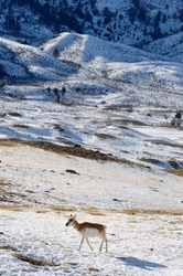 Lone Pronghorn Antelope in winter at Old Yellowstone Trail South Gardiner Montana