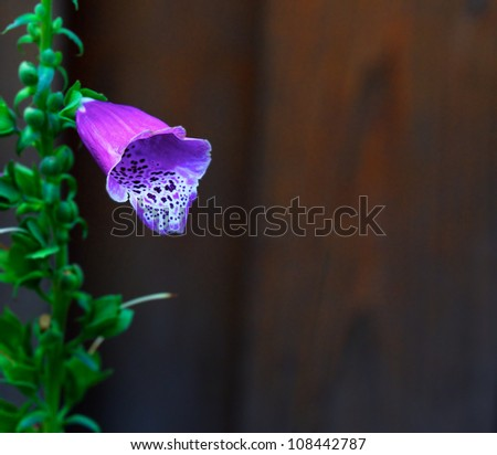 Lone Purple Foxglove against soft focus cedar wood fence